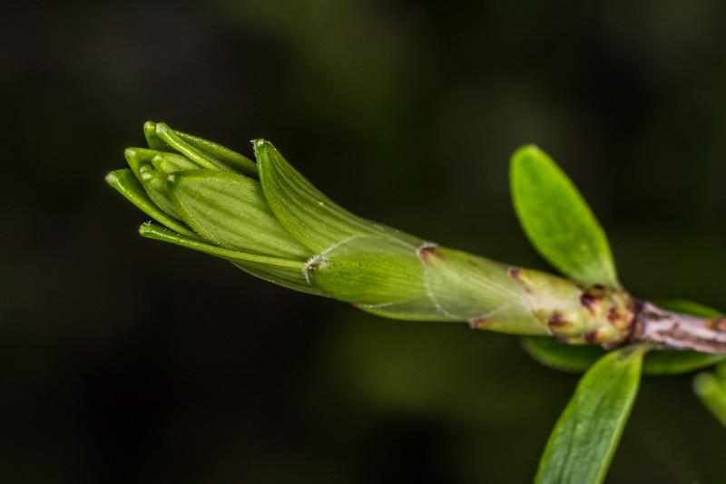 Archeria traversii. Heaphy Track east of Saxon Hut, Kahurangi National Park.