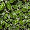 Brachyglottis adamsii. Dunedin Botanic Garden.