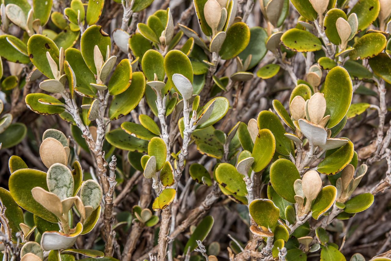 Brachyglottis bidwillii. Needles Eye, Douglas Range, Kahurangui National Park.