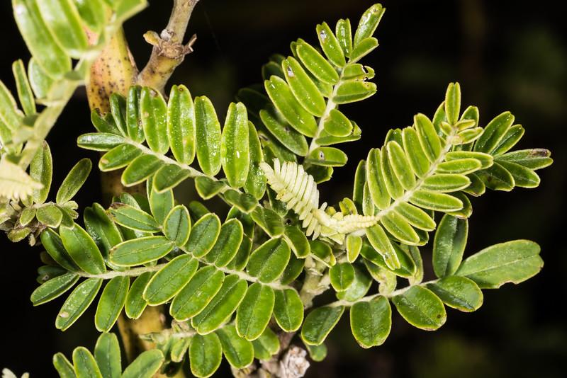 Kakabeak / kōwhai ngutu-kākā (Clianthus maximus). Onepoto, Lake Waikaremoana, Te Urewera National Park.