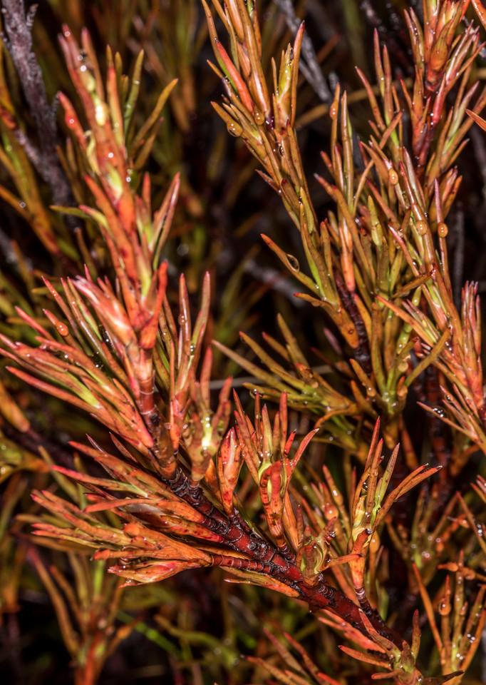 Common grass tree (Dracophyllum rosmarinifolium). Luxmore Hut, Kepler Track, Fiordland National Park.