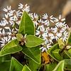 Common tree daisy (Olearia arborescens). Gouland Downs, Heaphy Track, Kahurangi National Park.