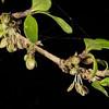 Coprosma pseudociliata. Homer Hut, Gertrude Valley, Fiordland National Park.