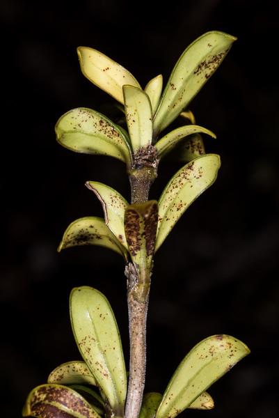 Coprosma pseudocuneata. Manuoha, Te Urewera National Park.