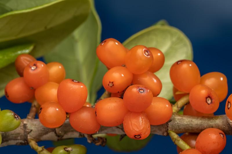 Mirror plant / taupata (Coprosma repens). Matiu / Somes Island, Wellington.