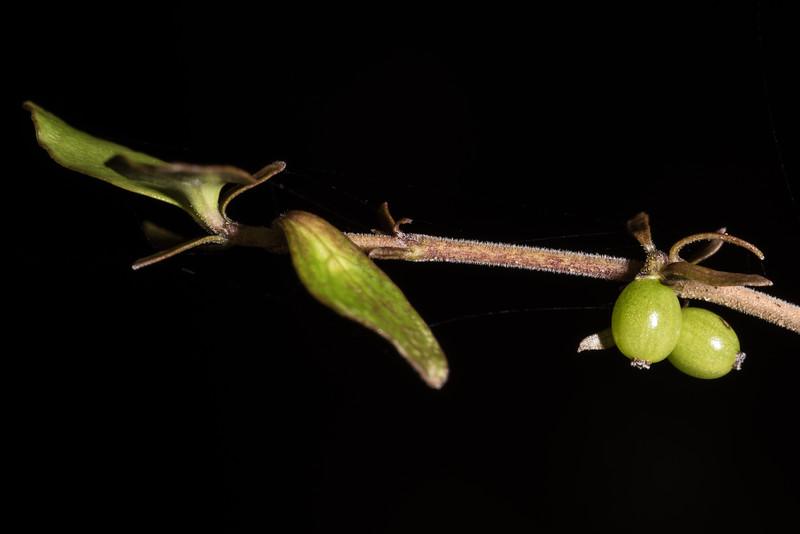 Coprosma rhamnoides. Iris Burn, Kepler Track, Fiordland National Park.