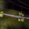 Swamp coprosma / hukihuki (Coprosma tenuicaulis). Brown Hut, Heaphy Track, Kahurangi National Park.