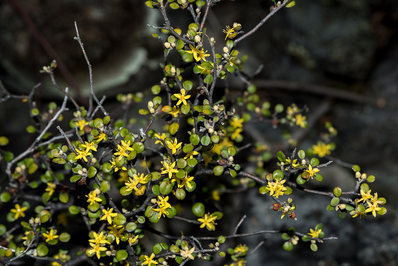 Wire-netting bush / korokio (Corokia cotoneaster). Bush Stream, Canterbury.