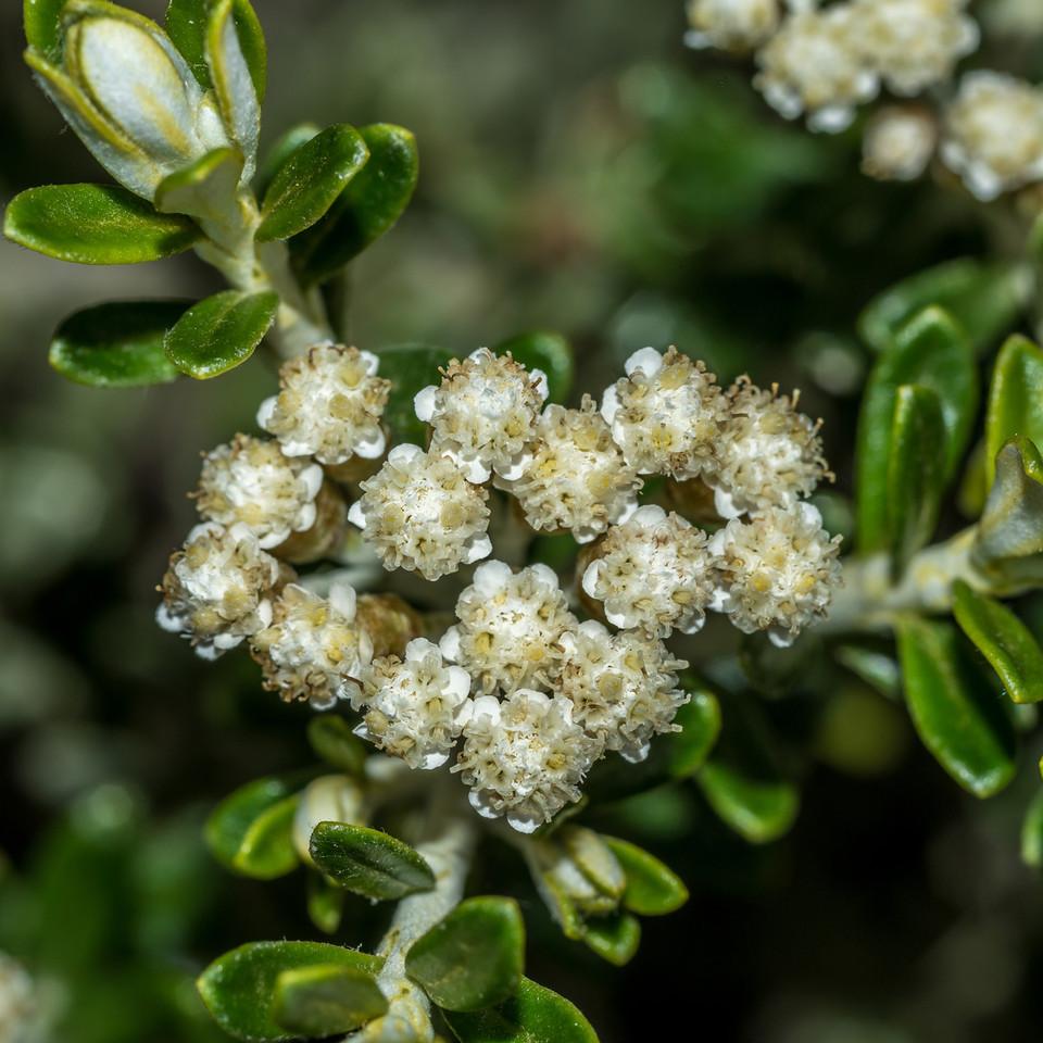Cottonwood / tauhinu (Ozothamnus leptophyllus). Mount Fyffe, Kaikoura