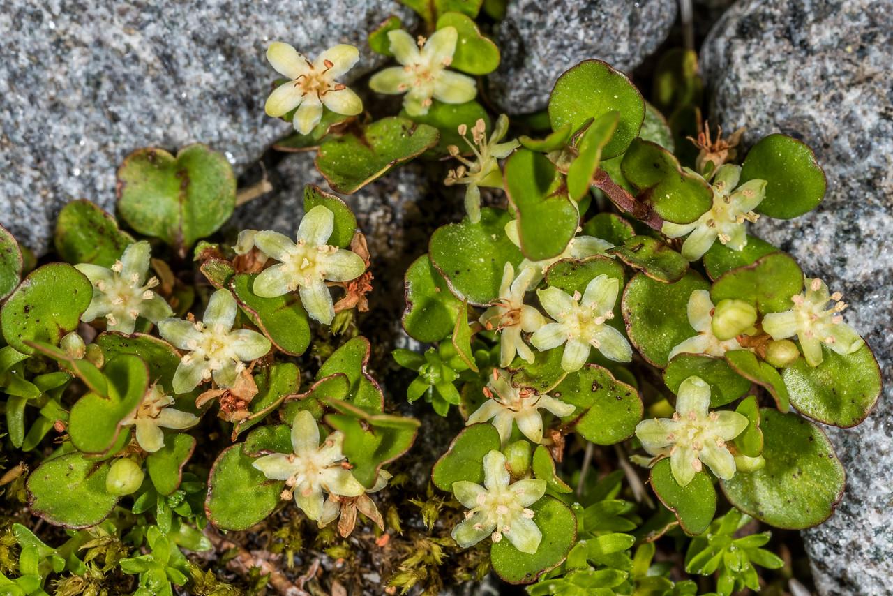 Creeping muehlenbeckia / creeping pōhuehue (Muehlenbeckia axillaris). Gertrude Valley, Fiordland National Park.