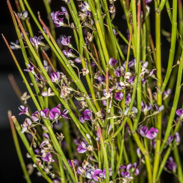 Cromwell broom (Carmichaelia compacta). Dunedin Botanic Garden.