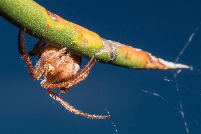 Green orbweb spider (Colaranea viriditas) on matagouri (Discaria toumatou).  Sutton Salt Lake, Otago.