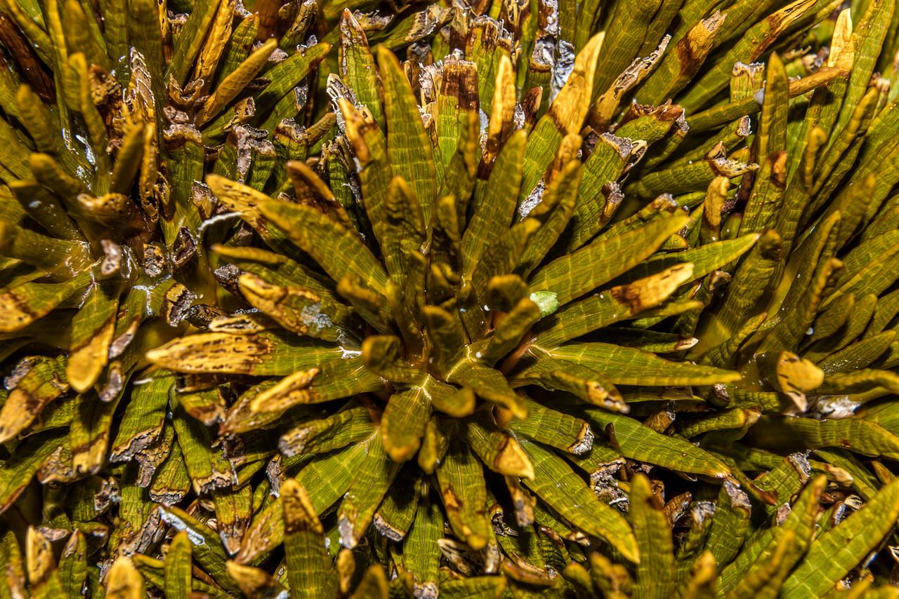 Dobsons speargrass (Aciphylla dobsonii). Snowy Gorge Creek / Ahuriri River East Branch divide.