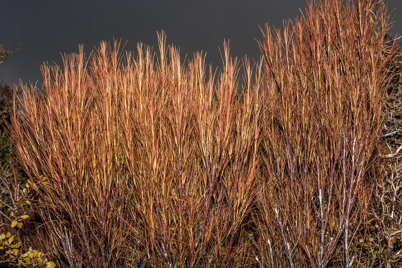 Dracophyllum filifolium. Manuoha, Te Urewera National Park.