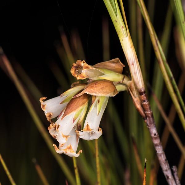 Inanga (Dracophyllum longifolium var. longifolium). Gouland Downs Hut, Heaphy Track, Kahurangi National Park.