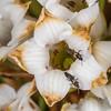 Thrips (Order Thysanoptera) on marble īnanga (Dracophyllum marmoricola). Ellis Basin, Arthur Range, Kahurangi National Park.