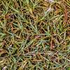 Marble īnanga (Dracophyllum marmoricola). Ellis Basin, Arthur Range, Kahurangi National Park.