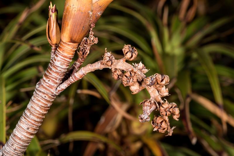 Pineapple scrub (Dracophyllum menziesii). Gertrude Saddle, Fiordland National Park.