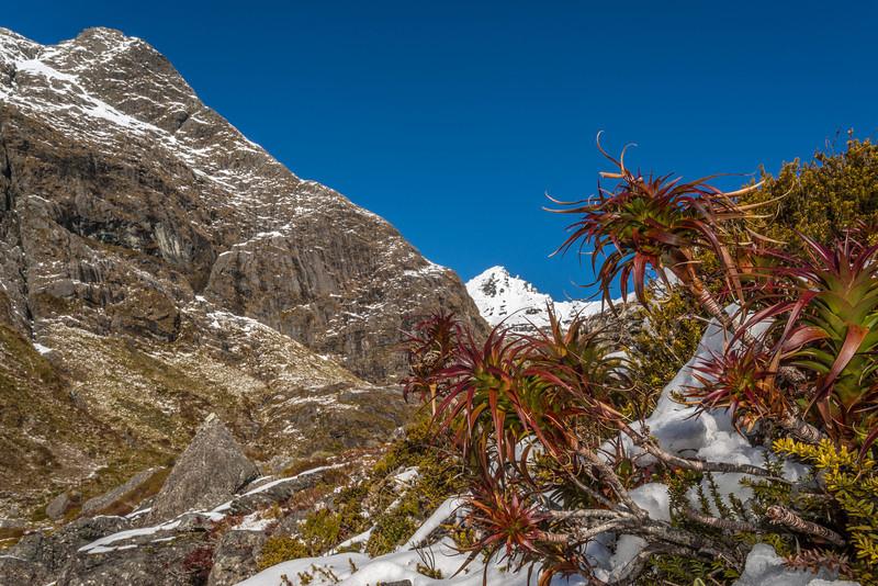 Pineapple scrub (Dracophyllum menziesii). Routeburn. Ocean Peak in the background