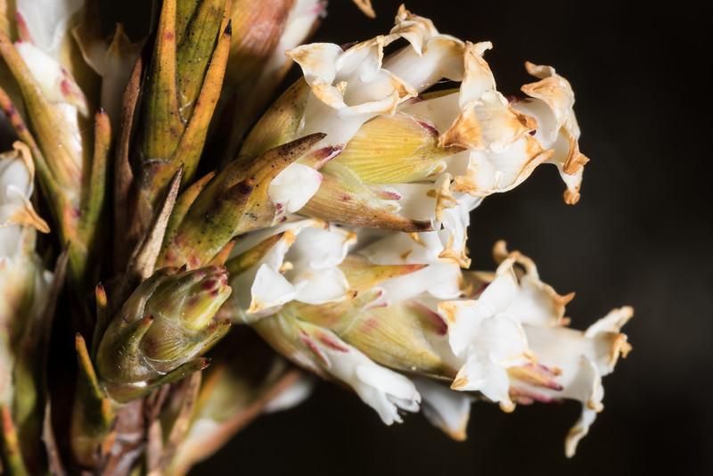 Dracophyllum oliveri. Amoeboid Mire, Kepler Track, Fiordland National Park.
