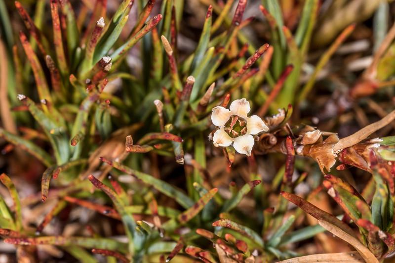 Trailing grass tree (Dracophyllum pronum). Gertrude Saddle, Fiordland National Park.
