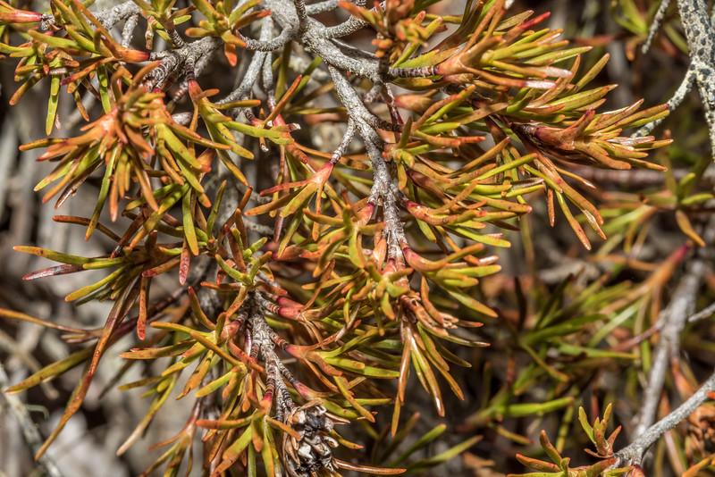 Trailing grass tree (Dracophyllum pronum). Awakino ski field, St Marys Range, North Otago.