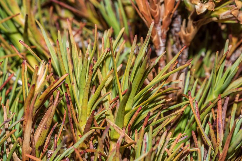 Trailing grass tree (Dracophyllum pronum). High Burn, Young Range, Otago.
