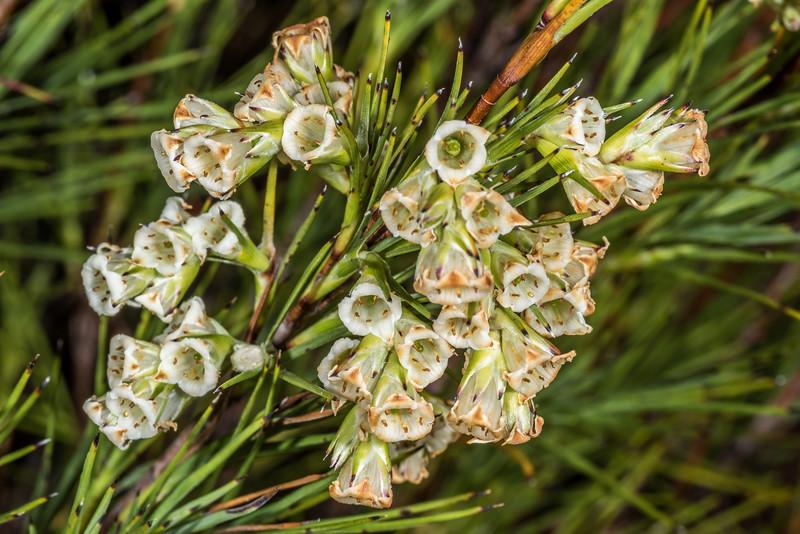 Dracophyllum scoparium. Rangaika Scenic Reserve, Chatham Island.