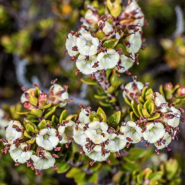 Nehenehe (Epacris alpina). Perry Saddle, Heaphy Track, Kahurangi National Park.