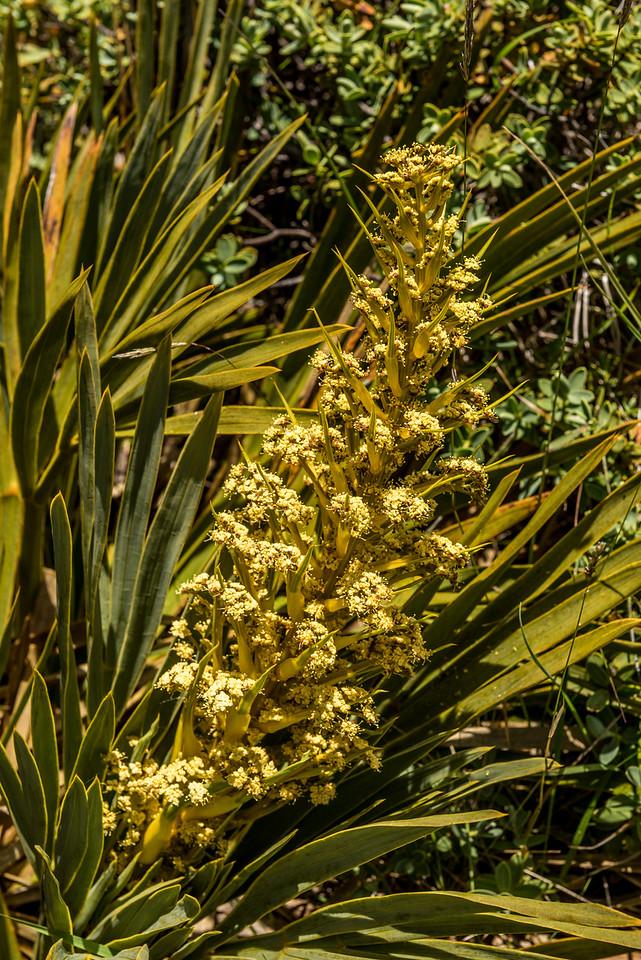 Fierce speargrass (Aciphylla ferox). Mount Arthur, Kahurangi National Park.