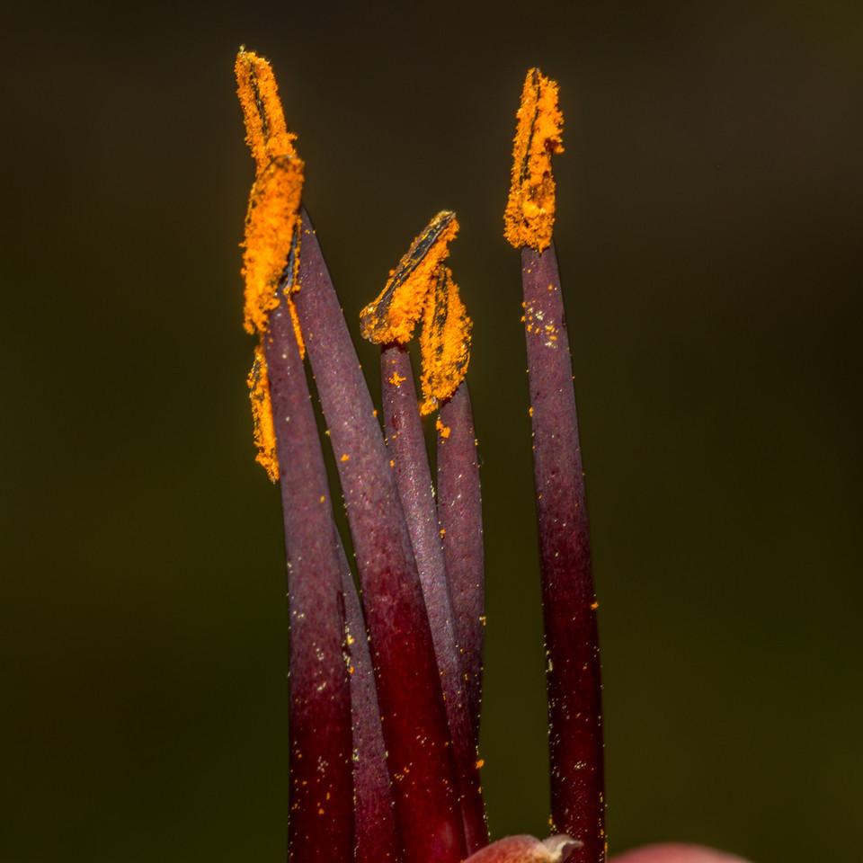 Flax / harakeke (Phormium tenax). Okia, Otago Peninsula