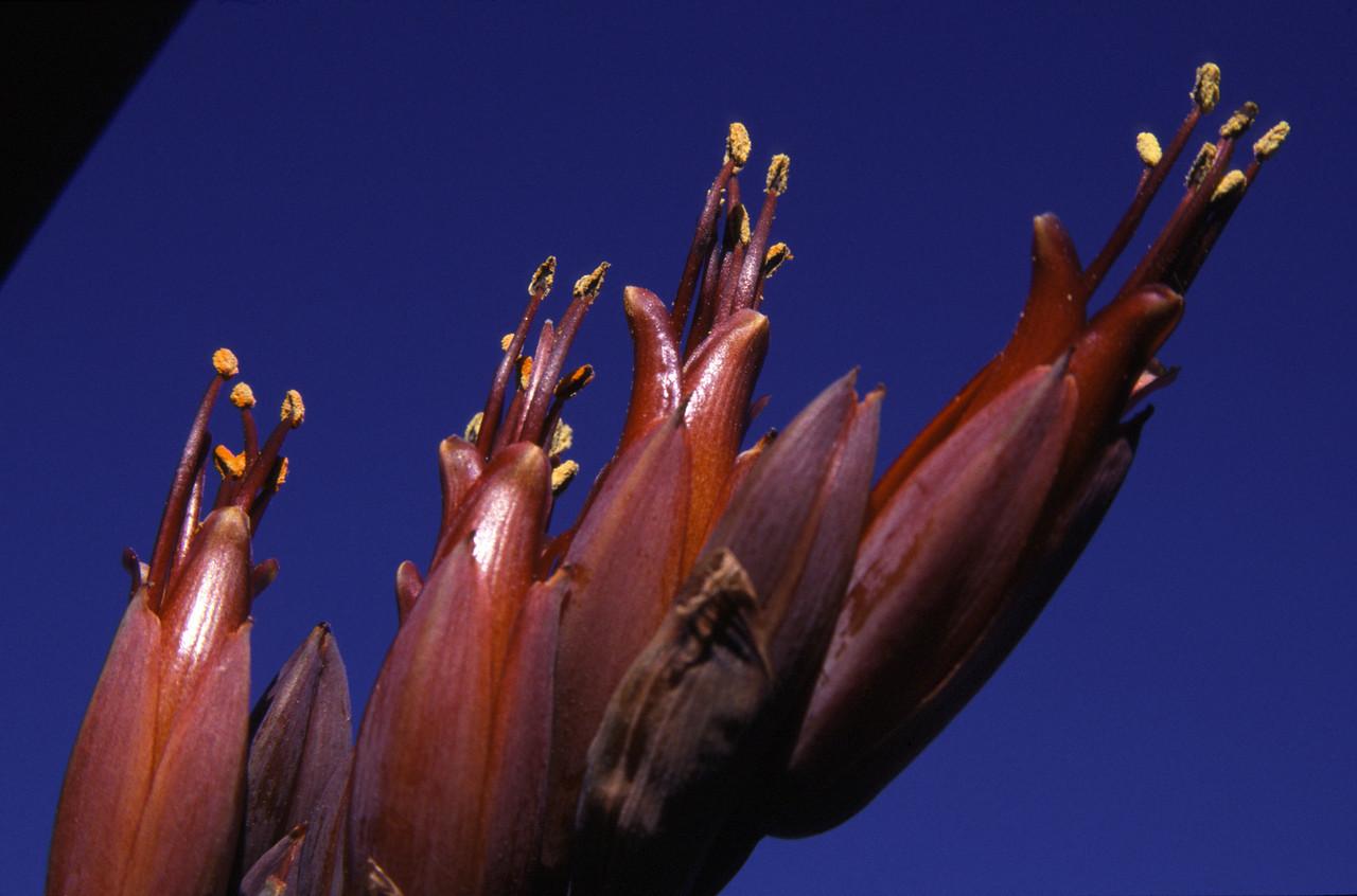 Flax (Phormium tenax). Boulder Beach, Otago Peninsula