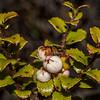 Bush snowberry or fool's beech / koropuka (Gaultheria antipoda). Freehold Creek, Ohau.