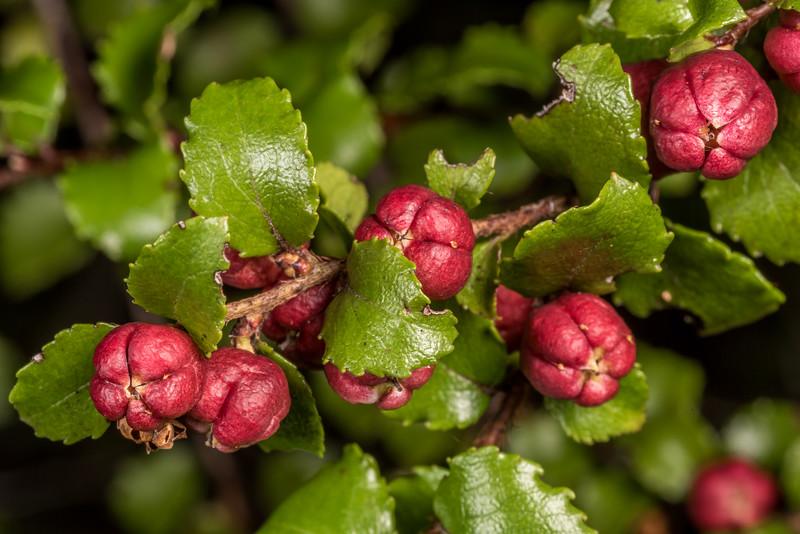 Bush snowberry / koropuka (Gaultheria antipoda). Hester Pinney Creek, Matukituki River East Branch, Mount Aspiring National Park.