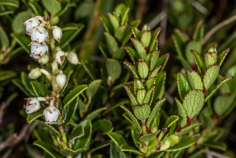 Scarlet snowberry (Gaultheria crassa). Gertrude Valley, Fiordland National Park.