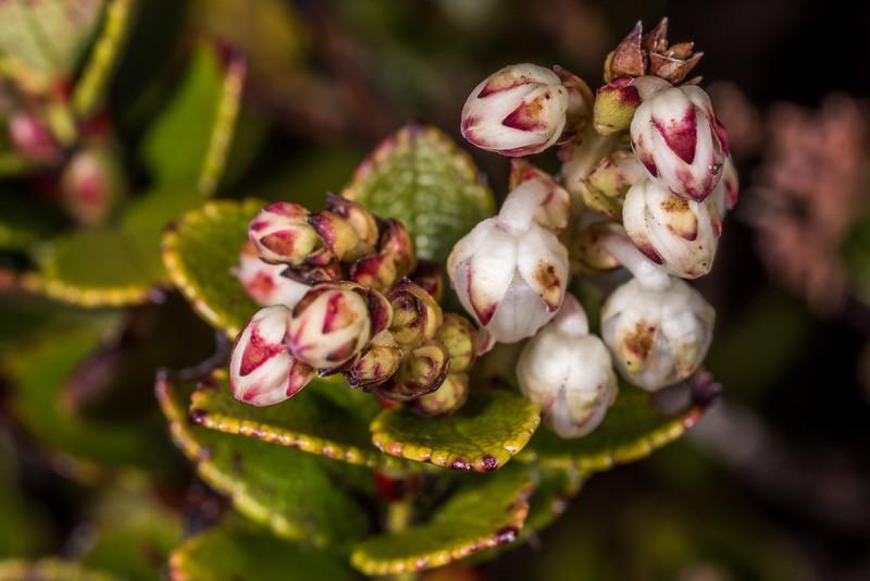 Scarlet snowberry (Gaultheria crassa). Kepler Track Tops, Fiordland National Park.