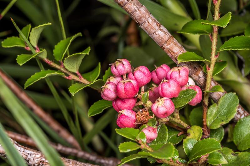 Mountain snowberry (Gaultheria depressa). Hester Pinney Creek, Matukituki River East Branch, Mount Aspiring National Park.
