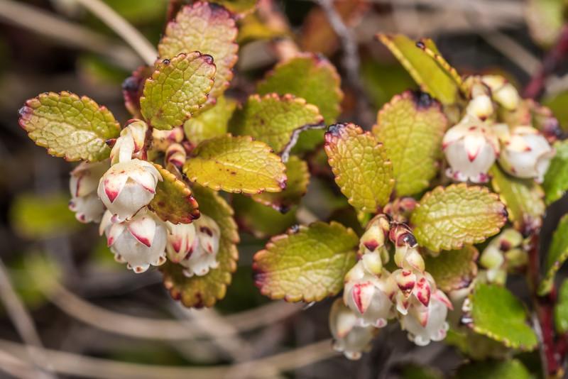 Mountain snowberry (Gaultheria depressa var. novae-zealandiae). High Burn, Young Range, Otago.