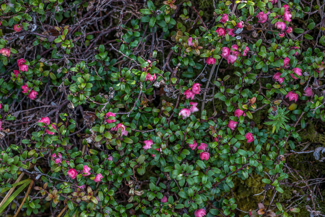 Snowberry, Green Lake. Probably a mountain snowberry x prostrate snowberry hybrid (Gaultheria depressa x macrostigma)