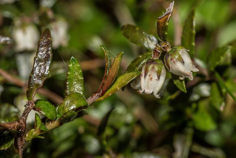 Prostrate snowberry (Gaultheria macrostigma). Daleys Flat, Dart River