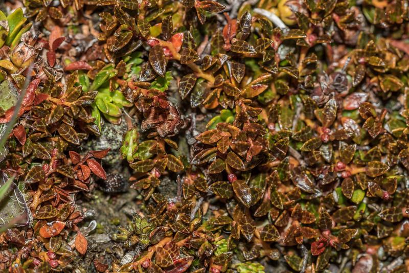 Prostrate snowberry (Gaultheria macrostigma). Snowy Gorge Hut, Snowy Gorge Creek.