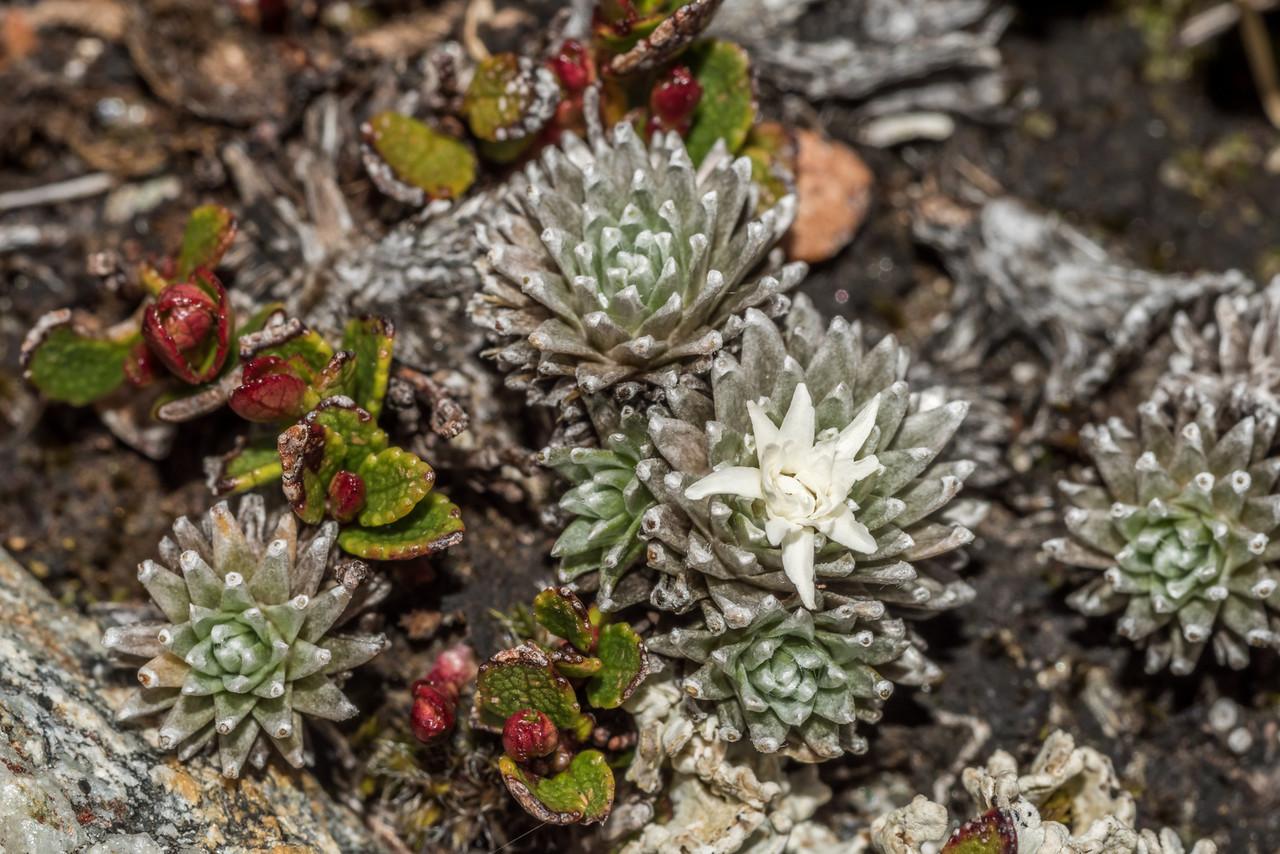 Large-flowered mat daisy (Raoulia grandiflora) and Gaultheria nubicola. Blockade Stream, Mount Aspiring National Park.