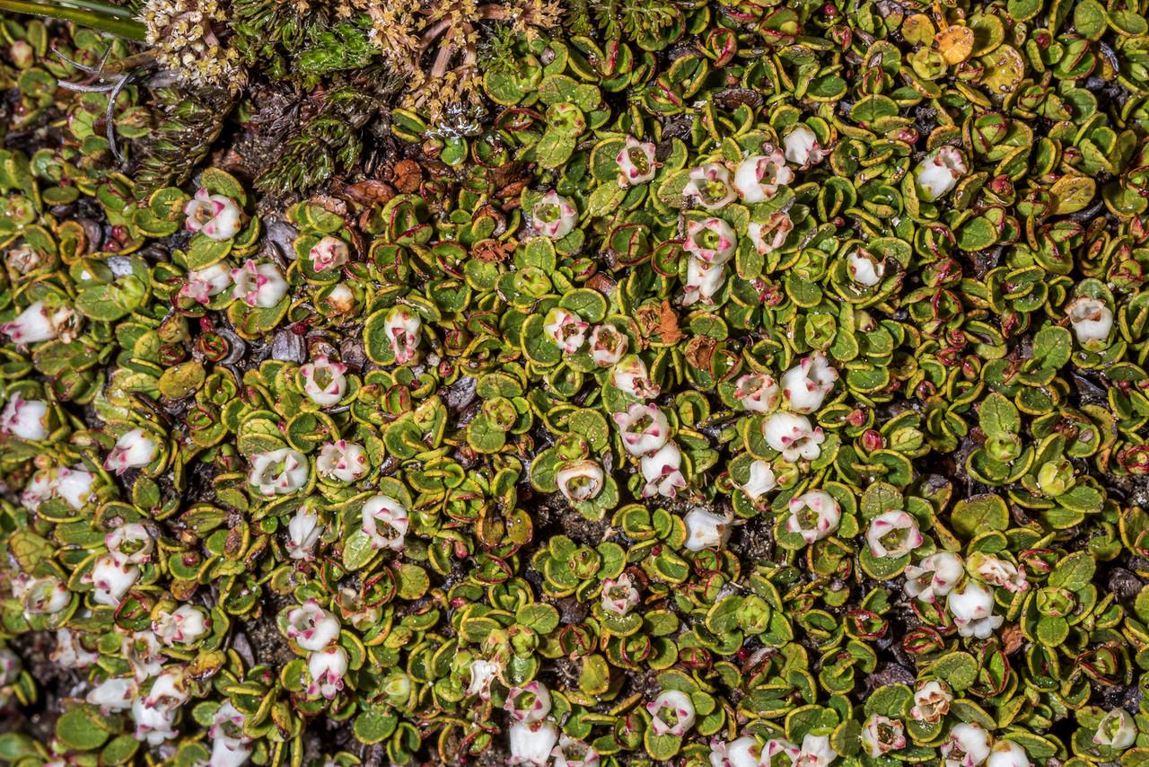 Gaultheria nubicola. Kepler Track Tops, Fiordland national Park.