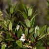 Gaultheria rupestris, a snowberry. Gouland Downs Hut, Heaphy Track, Kahurangi National Park.