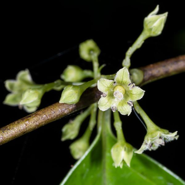 Hangehange (Geniostoma ligustrifolium). Whariwharangi Bay, Abel Tasman National Park.