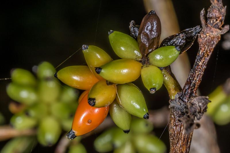Glossy karamū (Coprosma robusta). Opoho, Dunedin