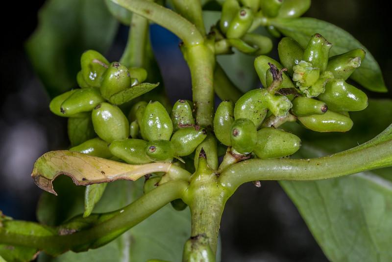 Glossy karamū (Coprosma robusta). Unripe fruit. Opoho, Dunedin
