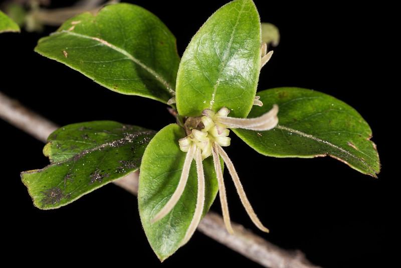 Glossy karamū (Coprosma robusta) flowers. Onepoto to Panekiri Bluff, Lake Waikaremoana Track, Te Urewera National Park.