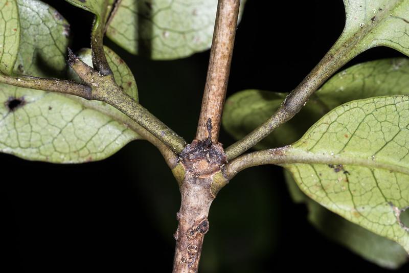 Glossy karamū (Coprosma robusta). Onepoto to Panekiri Bluff, Lake Waikaremoana Track, Te Urewera National Park.