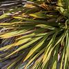 Golden spaniard (Aciphylla aurea). Mount Wakefield, Aoraki / Mount Cook National Park.